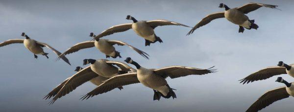 geese-shooting-estonia (6)