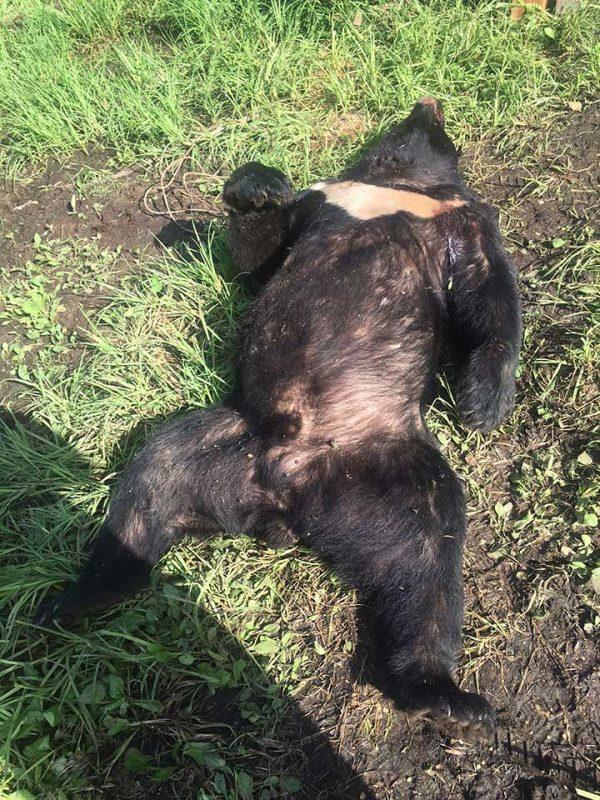 himalayan_bears_khabarovsk2