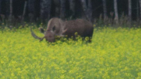 siberian-roe-dder-hunt-russia-tyumen (19)